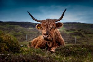 beef-scotland-highland-beef-cow-45876