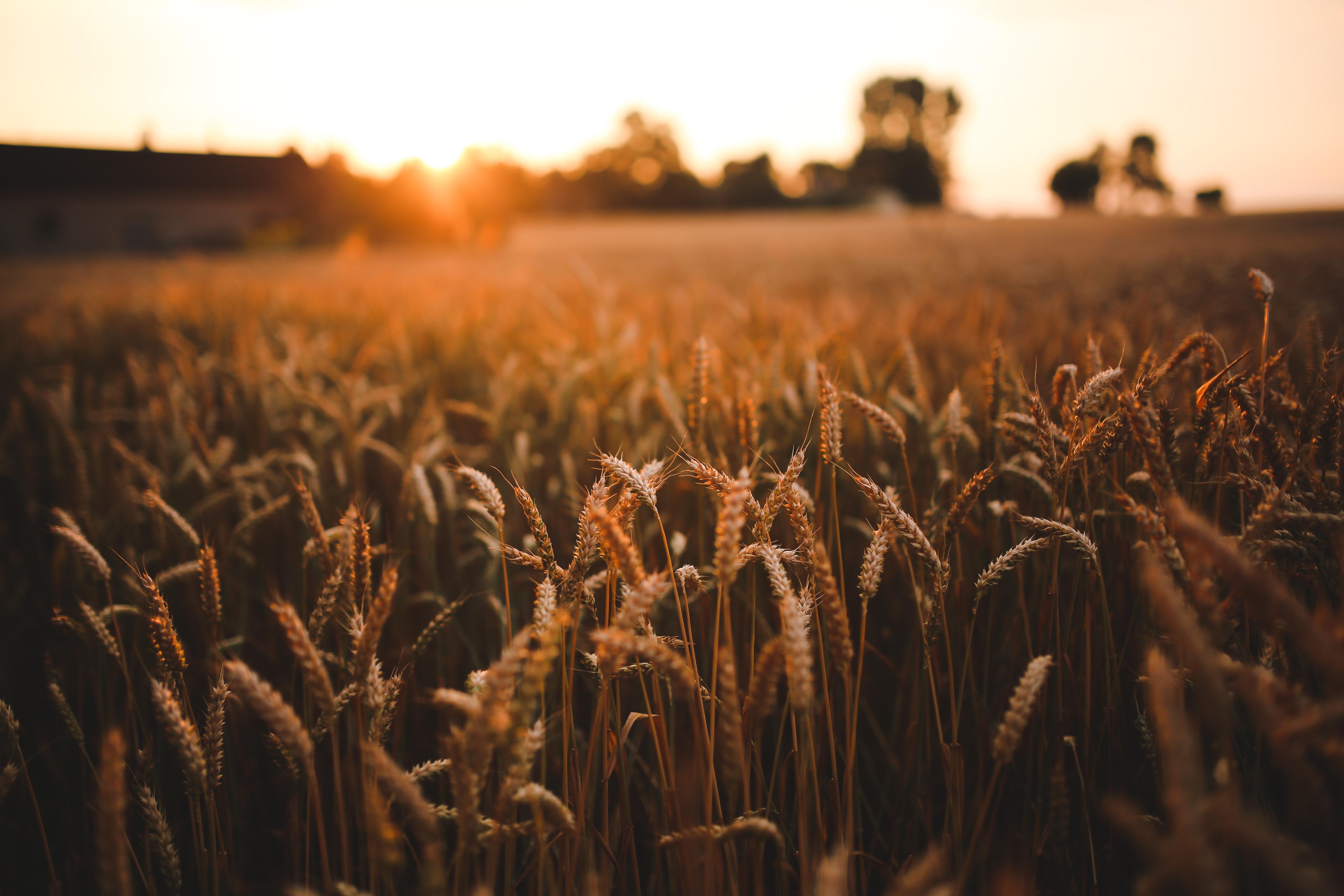 sunset-field-of-grain-5980